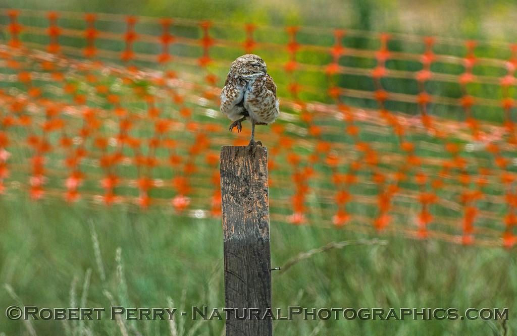 Athene cunicularia burrowing owl 2017 05-30 Yolo County- 084