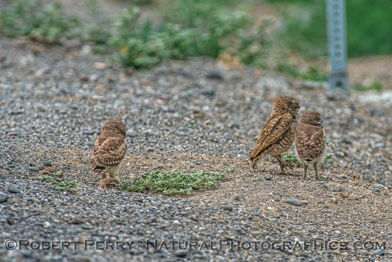 Athene cunicularia 5 burrowing owls family group 2017 05-30 Yolo County- 047
