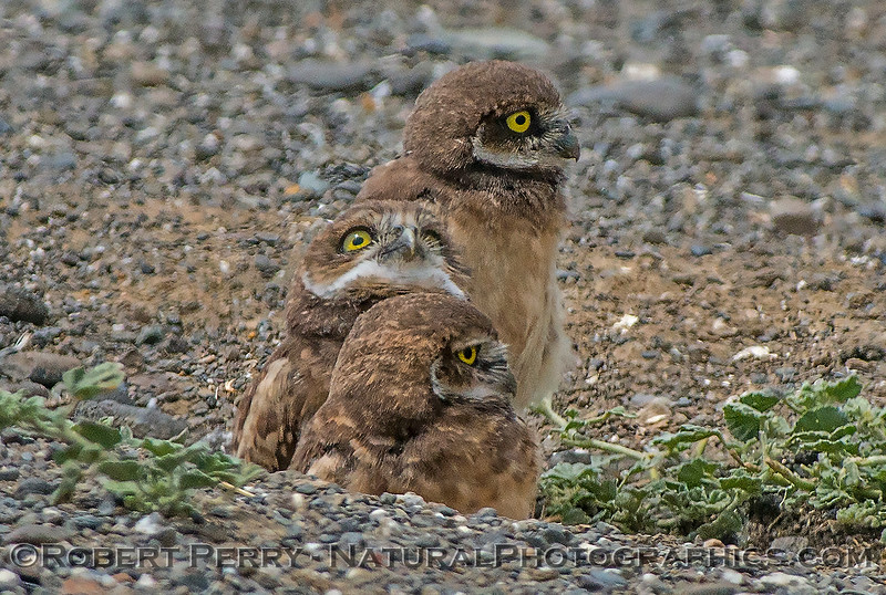 Athene cunicularia 3 burrowing owls family group 2017 05-30 Yolo County- 156
