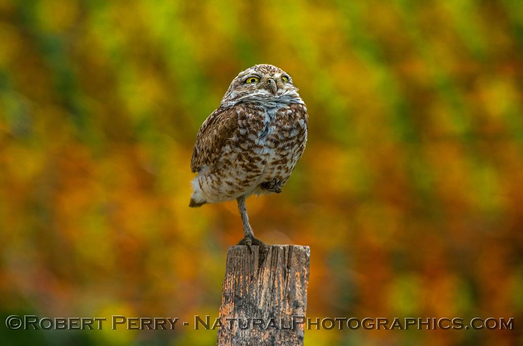 Athene cunicularia burrowing owl 2017 05-30 Yolo County- 167
