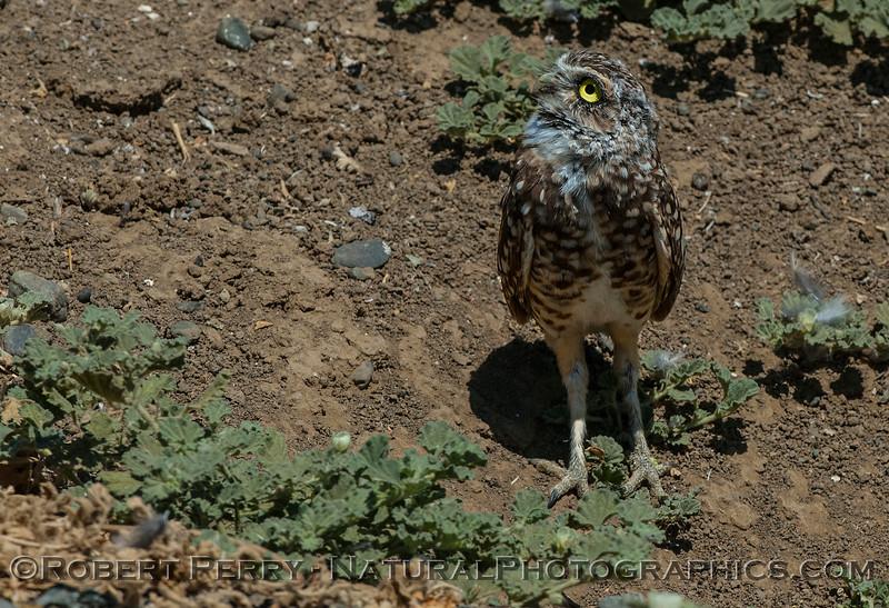 Athene cunicularia 2017 08-14 Yolo-078