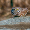Athene cunicularia on cement block platform 2017 12-13 Yolo County-037