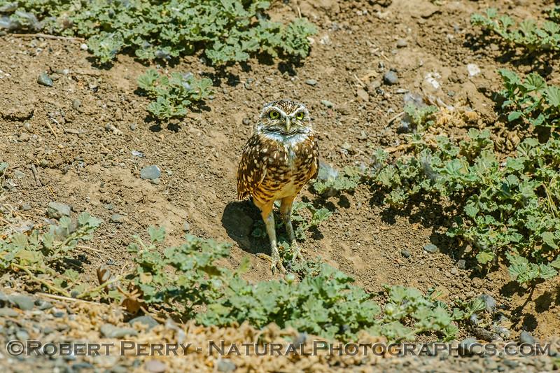 Athene cunicularia 2017 08-14 Yolo-122