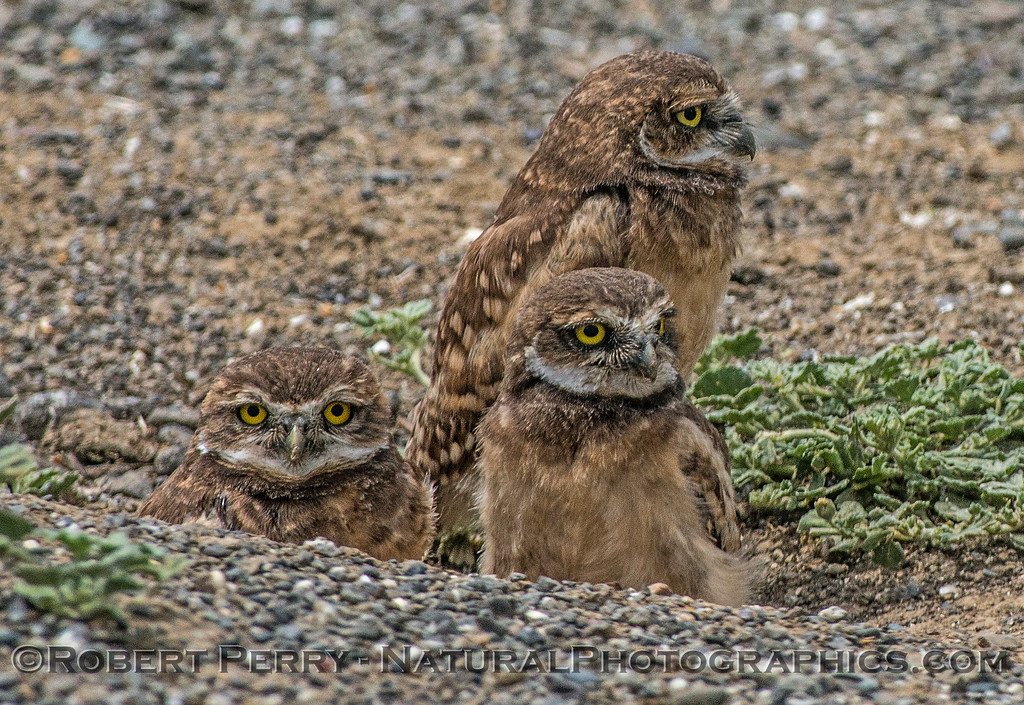 Athene cunicularia 3 burrowing owls family group 2017 05-30 Yolo County- 236