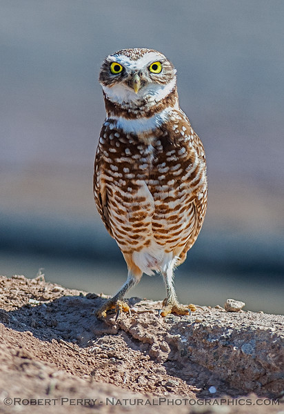 Athene cunicularia BURROWING OWL standing up 2017 03-31 Sonny Bono NWR-111