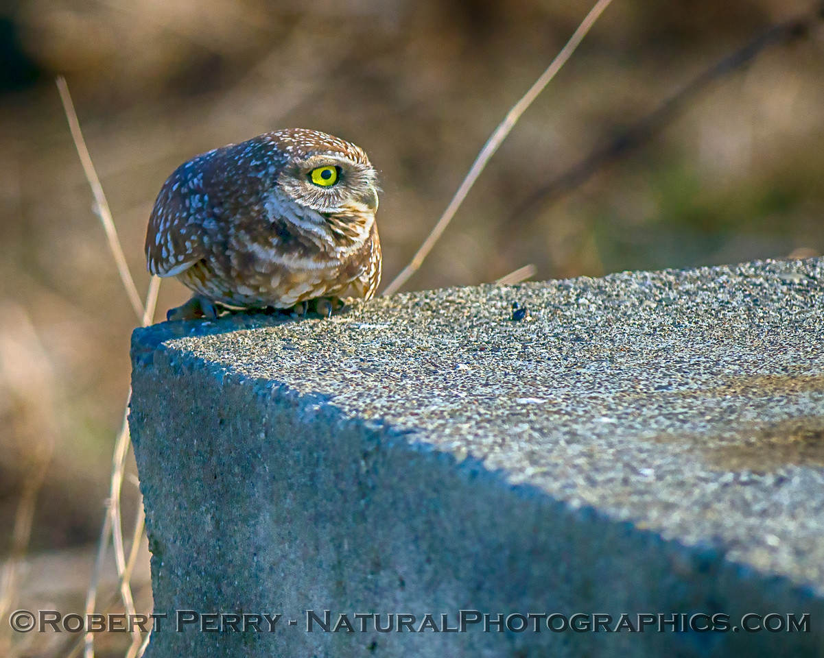 Athene cunicularia on cement block platform 2017 12-13 Yolo County-055