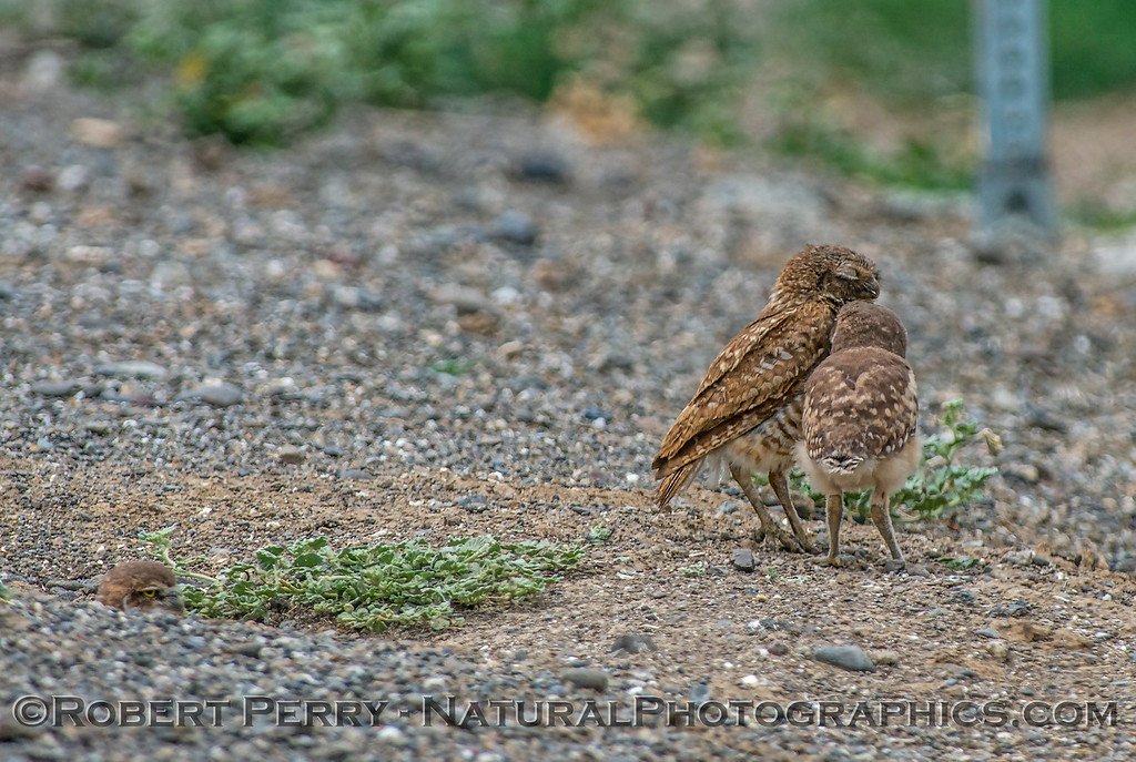 Athene cunicularia burrowing owl family group 2017 05-30 Yolo County- 037