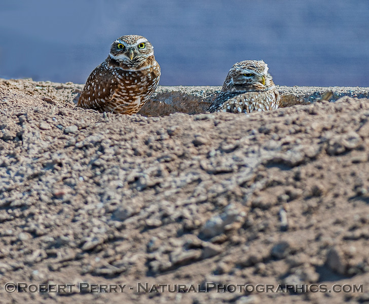 Athene cunicularia BURROWING OWLS pair in burrow 2017 03-31 Sonny Bono NWR-090