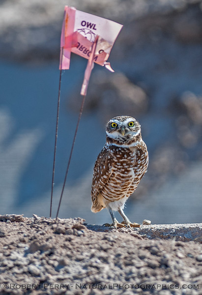 Athene cunicularia BURROWING OWL with sign 2017 03-31 Sonny Bono NWR-125