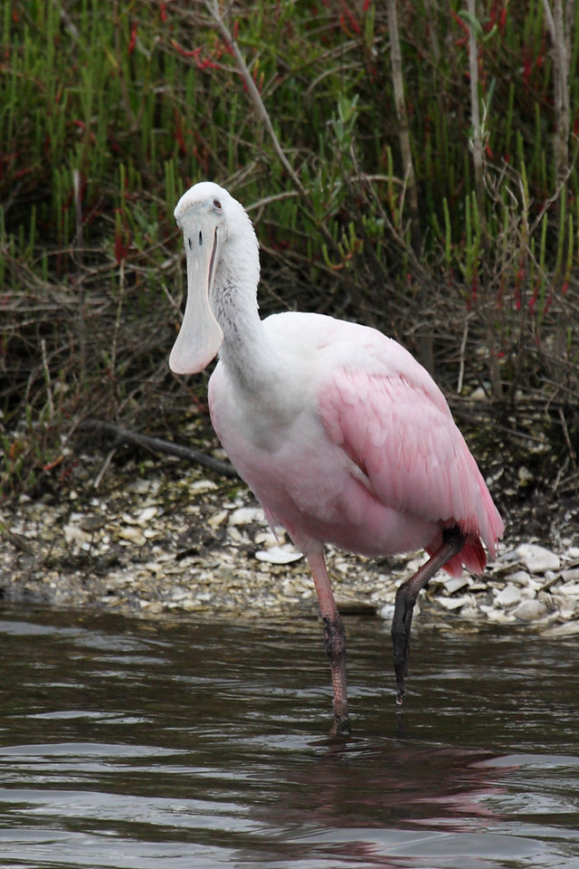 "This roseate spoonbill was in the preserve across the street from Goodrich's. He dips his paddle bill into the water and swings it from side to side picking up his food, which ""The Sibley Guide to Bird Life & Behavior"" says consists mostly of ""aquatic insects, mollusks, crustaceans, small fish, and amphibians, ..."" If you love birds and want to know what makes them tick, then the above Sibley book is for you. If you just want to identify the birds you see, then I suggest ""The Sibley Guide to Birds,"" which seems to be the current authority. Both books are published by the National Audubon Society."