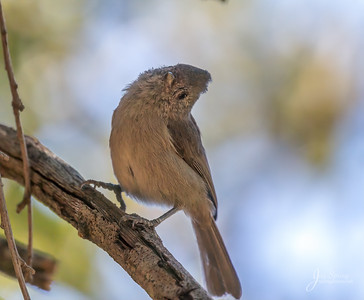 Oak Titmouse