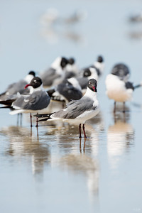 laughing gull_2383