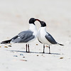 laughing gull_2258
