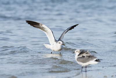 laughing gull_6937
