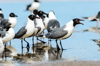 laughing gull_2414