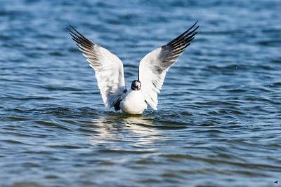 laughing gull_3737