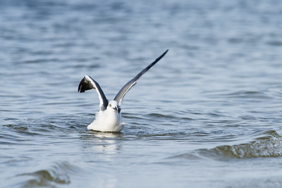 laughing gull_6933