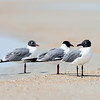 laughing gull_2335