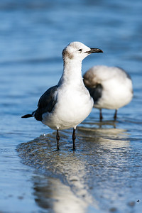 laughing gull_3924