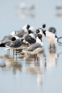 laughing gull_2381