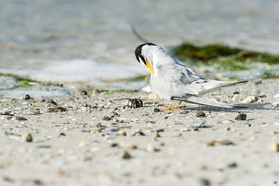 least tern_4288