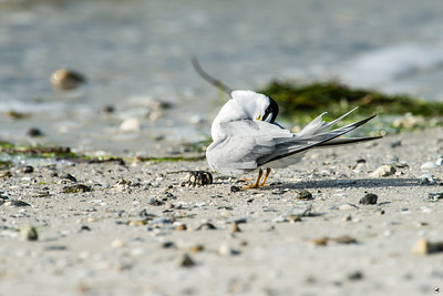 least tern_4281