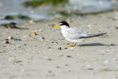 least tern_4307