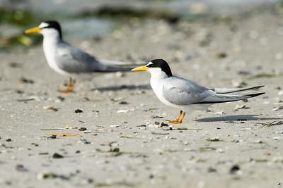 least tern_4304