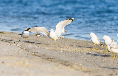 ring-billed gull_3954