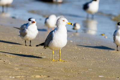 ring-billed gull_3674