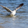 ring-billed gull_3676