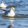 ring-billed gull_3873