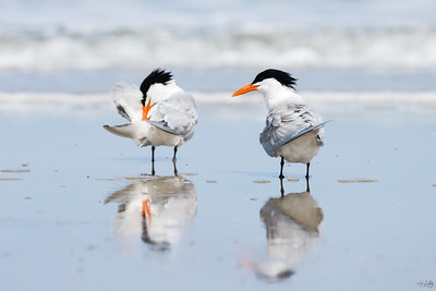 royal tern_2493