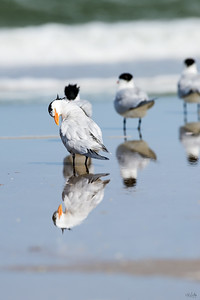 royal tern_2443