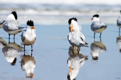 royal tern_2449