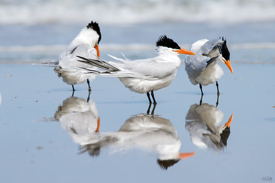 royal tern_2481