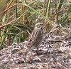 October 19-- Winsegansett -- Savannah Sparrow