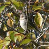 Oct 15 - From RR bridge near YMCA--Yellow Rumped Warbler (lots of them)