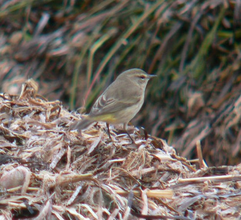 October 1 -- Palm Warbler at Winsegansett (very friendly bird working the seashore)