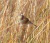 Hacker Street Saltmarsh Sharp-Tailed Sparrow