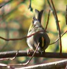 One of a small flock of Golden Crowned Kinglets, spending more time squabbling and showing crests than eating