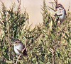 Hacker Street Song and Swamp Sparrows
