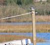 RR Bridge Belted Kingfisher