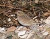 Winsegansett Savannah Sparrow