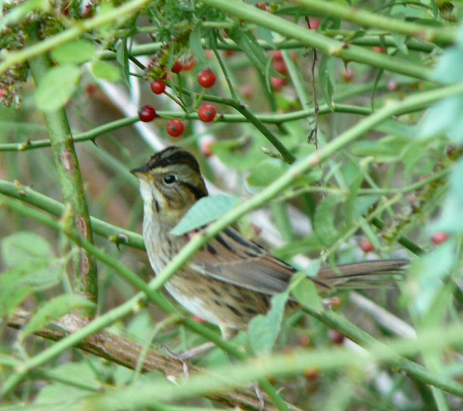 October 18- Long Road- Swamp Sparrow