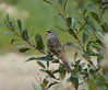 October 18 - Long Road - White-crowned Sparrow