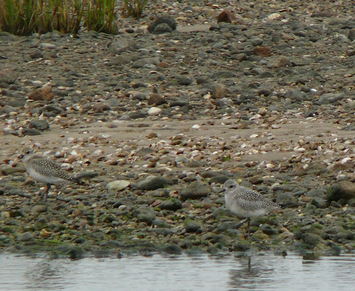 October 8- Town Beach- Black-bellied Plovers