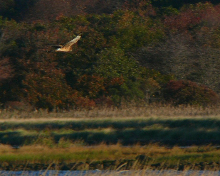 October 21-Winsegansett- one of two Northern Harriers