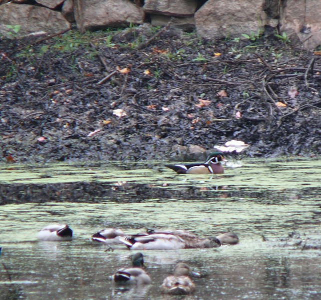 October 18 - Mill Road-- Wood Duck