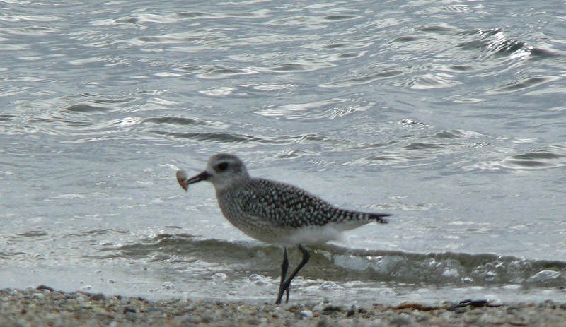 October 1- Town Beach-Black-bellied Plover